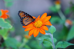 Queen butterfly and flower (Stephen G Nelson) Tags: insect butterfly queenbutterfly flower botanicalgarden desert tucson arizona
