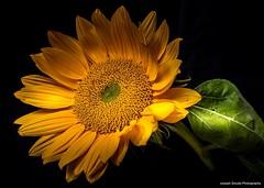 Helianthus (josephzmuda2) Tags: blackbackground nopeople pennsylvania pittsburgh fineart nature stilllife color autumn day botanical helianthus flora floral plant flower sunflower