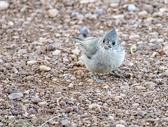 Juniper Titmouse with breakfast (Patrick Dirlam) Tags: arizona trips grandcanyon birds landbirds juniper titmouse