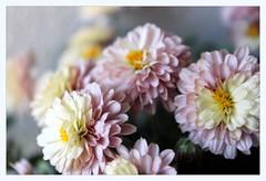 chrysanths (overthemoon) Tags: flowers chrysanthemums pink yellow balcony chrysanthèmes