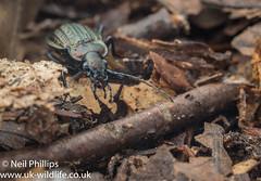 Carabus granulatus (Neil Phillips) Tags: carabusgranulatus groundbeetle insecta arthropod arthropoda beetle bug hexapod insect invertebrate