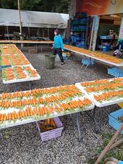 Resized_20191007_153913 (CSFS at UBC Farm) Tags: canovi seedtrials carrots