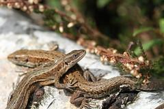Lounging lizards. (ChristianMoss) Tags: viviparous lizard zootoca vivipara reptile eppingforest common outside