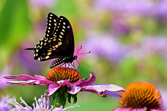 BlackSwallowtail2 (2)Smaller (Rich Mayer Photography) Tags: black swallowtail swallow tail butterfly butterflies animal animals nature wild life wildlife insect insects fly flying flight flower flowers nikon