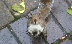"""What do you mean no nuts?"".... (markwilkins64) Tags: squirrel nature wildlife autumn humour cute funny markwilkins eyecontact stare"