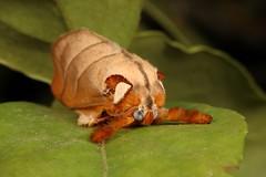 Cup Moth (Mahanta sp., Limacodidae) (John Horstman (itchydogimages, SINOBUG)) Tags: insect macro china yunnan itchydogimages sinobug entomology canon moth cup lepidoptera limacodidae fbl tumblr