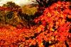 秋 (勇 YoungAdventure) Tags: 秋 lake kawaguchiko mount fuji maple corridor japan autumnfoliage 日本 nippon japon 일본 河口湖 autumn foliage 紅葉 富士山