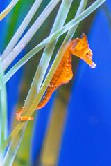 Dwarf Seahorse (SCSQ4) Tags: aquarium aquariumofthepacific california closeup dwarf dwarfseahorse favorite favoritepicture longbeach marco marophotography photographersnight photographersnight2019 seahorse seaweeds tuttlecameras