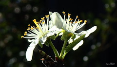 Blinded by WHITE in BACKLIGHT.....Smile on Saturday (Lani Elliott) Tags: nature naturephotography garden homegarden backlighting light bright blackbackground macro macrounlimited bokeh upclose closeup petals stamens blossoms pearblossoms flower flowers whiteinbacklight smileonsaturday