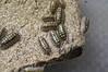 Armadillidium gestroi (Awavi) Tags: isopod armadillidium pillbug ダンゴムシ