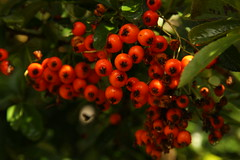 Pyracanthus berries (janpaulkelly) Tags: berries redberries garden gardens red trees shrubs nature winter autumn outside leaves dublin ireland homegrown