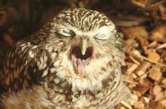 "I don't think he was happy when I said ""Say Cheese"" 😁 (blue33hibiscus) Tags: bird burrowingowl birdofprey axevalleywildlifepark axminster devon"