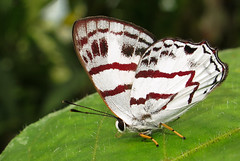 Euselasia labdacus (hippobosca) Tags: butterfly colombia riodinidae macro insect lepidoptera metalmark euselasialabdacus