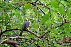 L1360147 Light-vented Bulbul (Rise Liao) Tags: 鳥 樹木 樹林