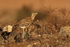 stone curlew (simonrowlands) Tags: stonecurlew lanzarote arid semidesert arable burhinusoedicnemus