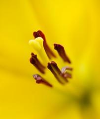 Bathing in Yellow (interestedbystandr) Tags: flower macro yellow