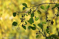 autumn colors (photos4dreams) Tags: gersprenz münster hessen germany naturschutz nabu naturschutzgebiet photos4dreams p4d photos4dreamz nature river bach flus naherholung canoneos5dmark3 canoneos5dmarkiii herbst autumn sunshine sun sonnenschein sonne