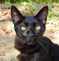 Whiskers (annette.allor) Tags: happycaturday whiskers cat black adventure outdoors