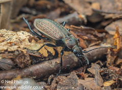 Carabus granulatus-2 (Neil Phillips) Tags: carabusgranulatus groundbeetle insecta arthropod arthropoda beetle bug hexapod insect invertebrate