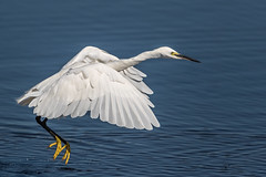 Egret Flight (Glenn.B) Tags: nature wildlife somerset naturereserve rspb hamwall someretlevels water egret littleegret