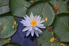 water lily (majka44) Tags: waterlily flower water 2019 light reflection green white yellow nice macro lake macroworld nature colors