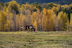 Aspen Breeze (laura's Point of View) Tags: horse paintedhorse animal aspen aspens trees forest pasture autumn fall color west western beautiful nature jacksonhole wyoming kellywyoming grosventre nationalforest unitedstates landscape lauraspointofview lauraspov equine