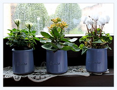 three little pots (overthemoon) Tags: windowsill plants small window rain glass cyclamen roses yoghurtpots kalanchoe