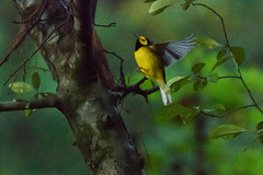 284/365 Revisit (Maggggie) Tags: bird hoodedwarbler tree brush yellow black migrant 365 365the2019edition 3652019