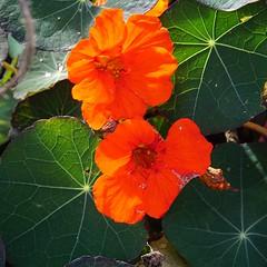sunlight on nasturtiums.. explored (quietpurplehaze07) Tags: orange nasturtiums mottisfont explored