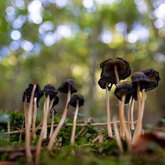 Fade Away (Role Bigler) Tags: emmental fujifilmxh1 fujinonxf16mmf14rwr mushroom natur pilz bokeh bokehlicious closeup fadeaway forest nature neardead schweiz square suisse switzerland wald wood kirchberg kantonbern