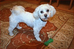 """10/12 Fela says: """"mommy, play with me!"""" ;) (green_lover (your COMMENTS are welcome!)) Tags: dog dogs pets fela maltese 12monthsfordogs carpet white explore"""