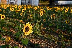 Facing East (durand clark) Tags: sunflowers boonecountykentucky kentucky nikonz6mirrorless nikon2470f4s garden mc glassons mcglassons fruitfarm