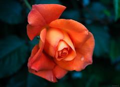 orange rose (Christine_S.) Tags: orangeflowers olympusem10markiii olympus30mmf35 garden spring climbingrose closeup macro floralphotography japan nature mirrorless microfourthirds ngc npc coth5