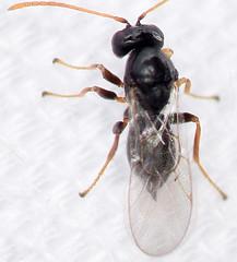 1.9 mm female gall wasp (ophis) Tags: hymenoptera parasitica cynipoidea cynipidae gallwasp