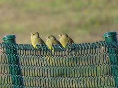 IMG_1345 (jesust793) Tags: pájaros birds naturaleza nature
