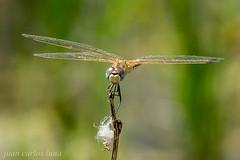 LIBELULA (juan carlos luna monfort) Tags: bicho insecto bug insect dragonfly macro verde bokeh rietvell tarragona deltadelebro deltadel´ebre nikond810 nikon24120 calma paz tranquilidad