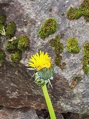 dandelion (helena.e) Tags: helenae husbil rv motorhome gränna älsa dandelion maskros blomma flower gul yellom mossa