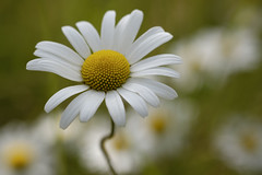Longer Warmer Days (shawn~white) Tags: ceredigion asteraceae uk flower floral beauty daisies westwales meadow peaceful charm serenity daisy dreamy enchanting harmonious