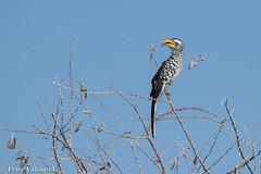 Namibia 2019 (Peter Valcarcel) Tags: southernyellowbilledhornbill etosha hornbill safari selfdrivesafari namibia wildlife animals okaukuejo okaukuejoetosha holiday bigfive