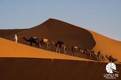 CAMEL CAMEL CAMEL (Lotus Mi) Tags: sahara desert xpro2 xf55200mmf3548 morocco merzouga sand camel trip travel journey fuji fujifilm