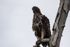 Haubenadler (Thomas SAP) Tags: 2019 haubenadler srilanka vogel