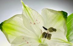 White flower in backlight (tanith.watkins) Tags: alstroemeria whiteflower smileonsaturday whiteinbacklight