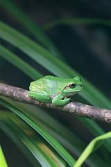 Rainette verte (olivier.ghettem) Tags: zoodeparis zoodevincennes zoo parczoologiquedeparis paris europe amphibien rainette rainetteverte grenouille frog hylaarborea europeantreefrog