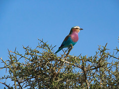 Tanzania_19_Serengeti_Bird (Christian Cardenal) Tags: tanzania serengeti africa safari bird color olympus olympusphotography em10markiii wildlife summer19 ngc