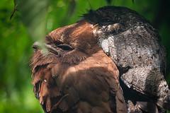 Ceylonfroschmaul (Thomas SAP) Tags: 2019 ceylonfroschmaul srilanka vogel
