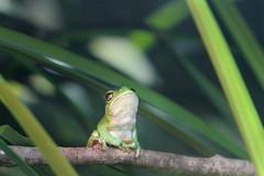 Rainette verte (olivier.ghettem) Tags: zoodeparis zoodevincennes zoo parczoologiquedeparis paris europe europeantreefrog rainette rainetteverte hylaarborea grenouille frog amphibien animal vert