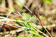 red dragonfly (photos4dreams) Tags: gersprenz münster hessen germany naturschutz nabu naturschutzgebiet photos4dreams p4d photos4dreamz nature river bach flus naherholung canoneos5dmark3 canoneos5dmarkiii herbst autumn sunshine sun sonnenschein sonne