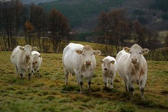 charolais (KvikneFoto) Tags: charolais storfe ku kalv cow calf nikon1j2