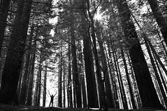 El hombre y la naturaleza (Osruha) Tags: secuoyas sequoies redwood cabezóndelasal cantabria cantàbria españa espanya spain bosque bosc forest hombre home man naturaleza natura nature medioambiente mediambient environment blancoynegro blancinegre blackandwhite bw bn bnw monocromo monocrom monochrome nikon nikonistas nikond750 d750