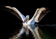 American White Pelican (Ed Sivon) Tags: america american canon nature lasvegas water wildlife western wild white southwest desert clarkcounty vegas nevada flickr bird henderson nevadadesert preserve
